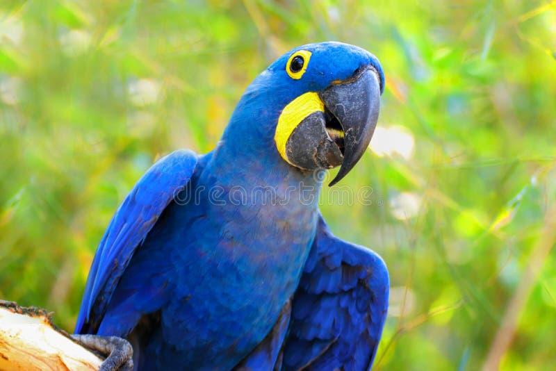 Papageien-Ara Hyacinth-Keilschwanzsittich auf dem grünen Hintergrund lizenzfreies stockfoto