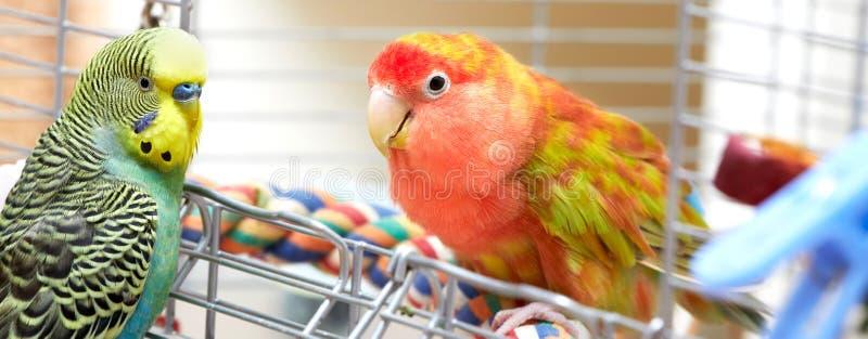 Papageien Budgie und des Wellensittichs stockfoto