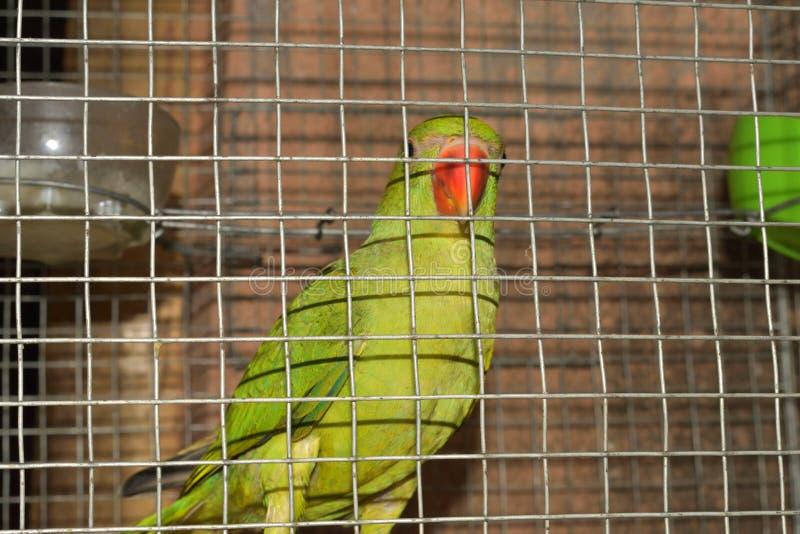 Papageien Corella sitzt im Käfig lizenzfreie stockfotos