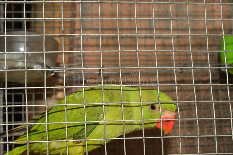 Papageien Corella sitzt im Käfig lizenzfreie stockbilder