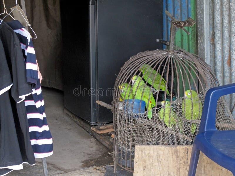 Papageien in der Gefangenschaft, angezeigt für Verkauf, Costa Rica lizenzfreie stockbilder