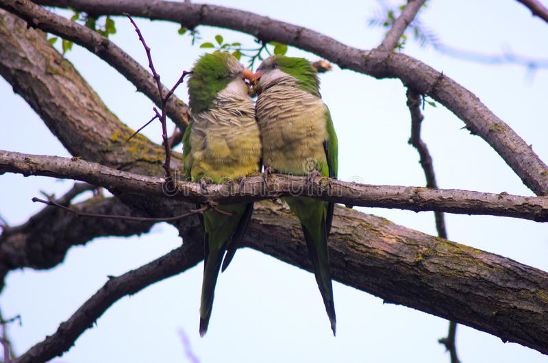 Papageien in der Liebe stockbilder