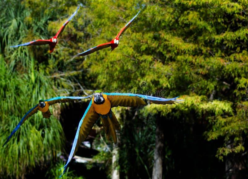 Papageien, die an der Kamera fliegen stockbild