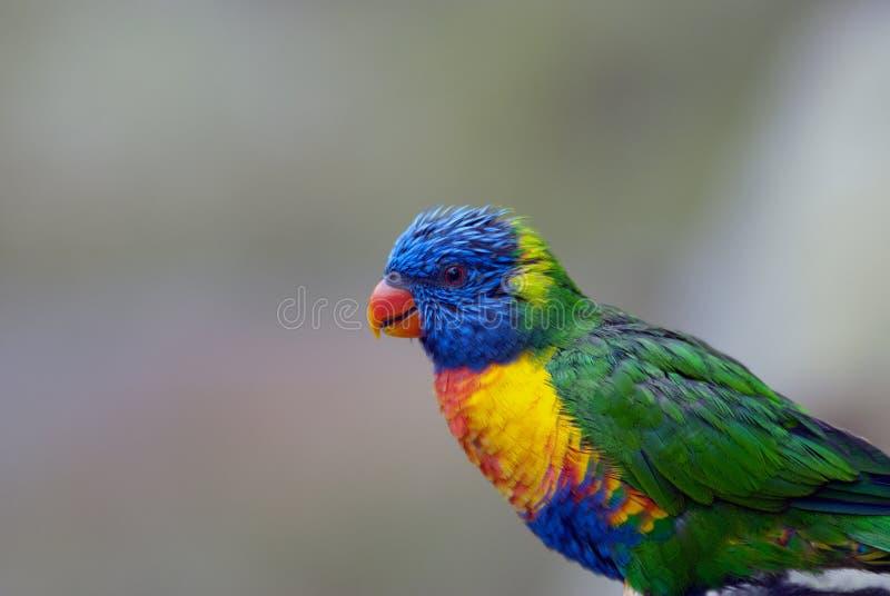 Papageien-Profil stockfoto