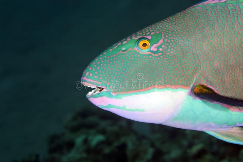 Papageienfisch lizenzfreie stockbilder