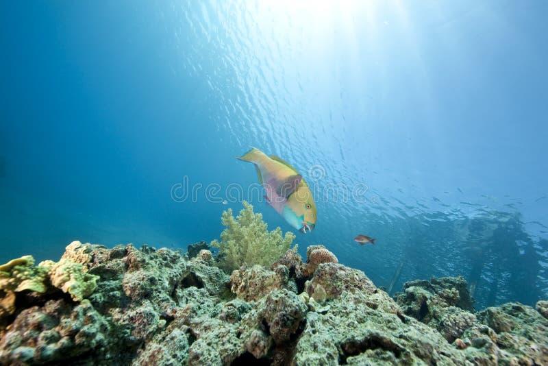 Papageienfisch lizenzfreies stockfoto