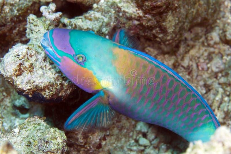 Papageienfisch im De-Roten Meer. lizenzfreies stockbild