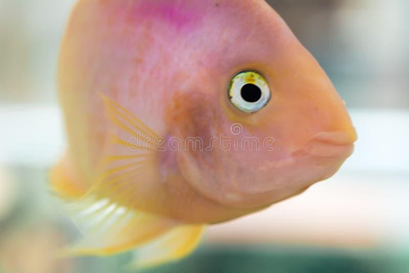 Papageienfische Der Aquariumblut-Papagei Cichlid oder häufiger und früher bekannt als Papagei Cichlid ist eine Kreuzung wahrschei stockbild