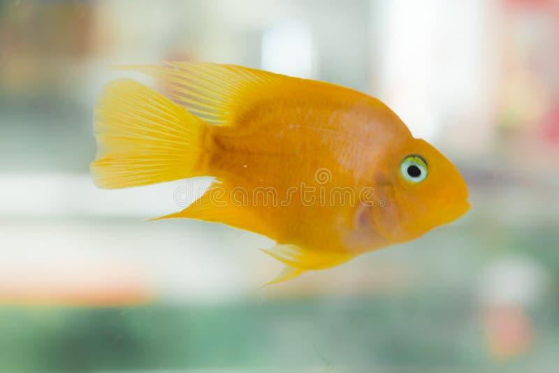 Papageienfische Der Aquariumblut-Papagei Cichlid oder häufiger und früher bekannt als Papagei Cichlid ist eine Kreuzung wahrschei stockbilder