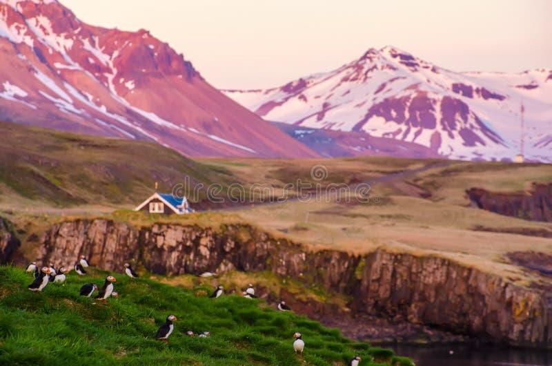 Papageientaucher auf den Felsen bei Borgarfjordur Island stockbild