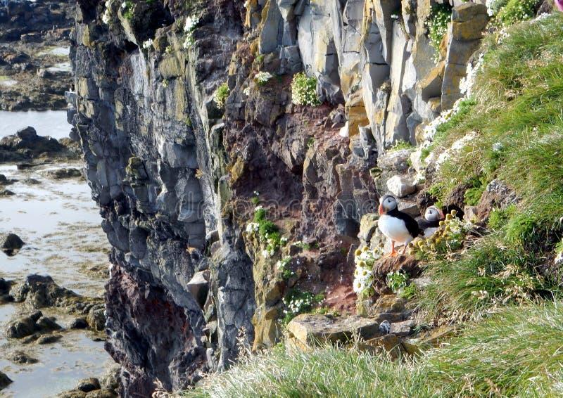 Papageientaucher auf einem Felsen lizenzfreies stockbild