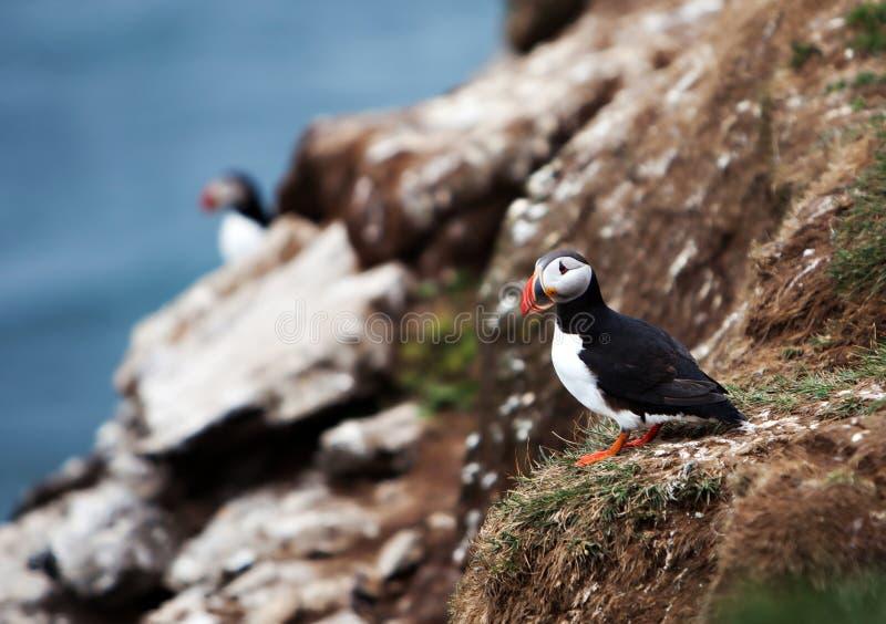 Papageientaucher auf Isländer Cliffside lizenzfreies stockbild