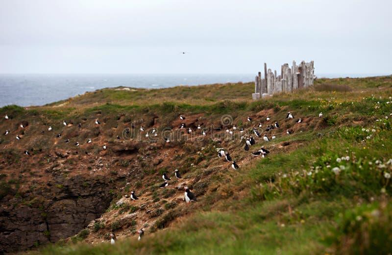 Papageientaucher auf isländischer Klippe stockfoto