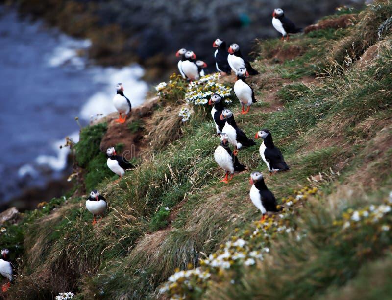 Papageientaucher auf isländischer Klippe lizenzfreies stockfoto