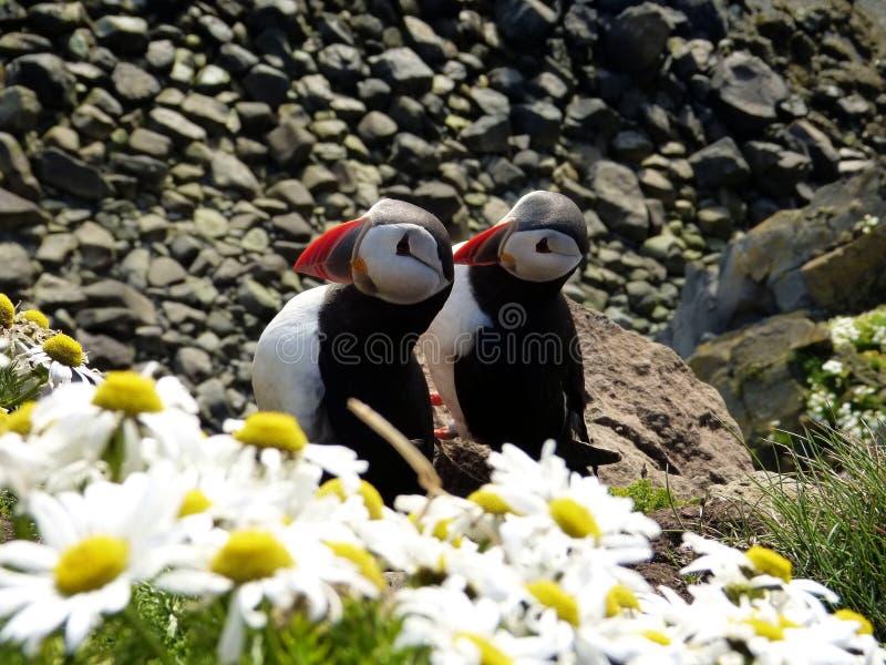 Papageientaucher in der Insel lizenzfreies stockbild