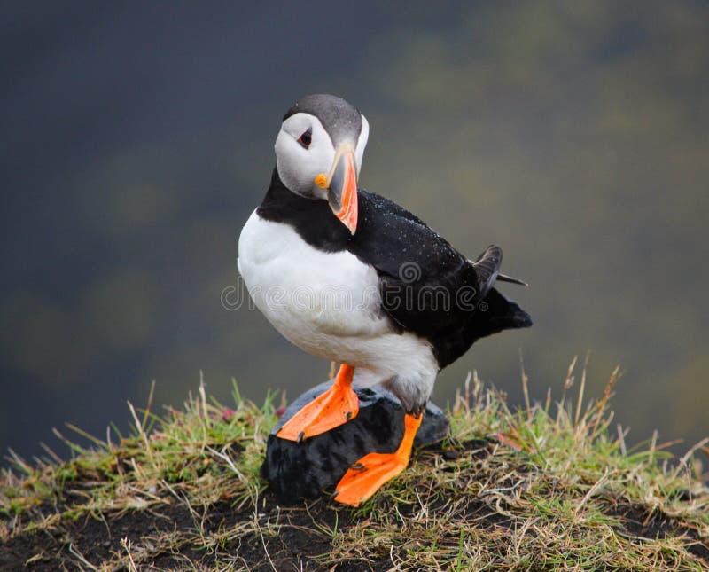 Papageientaucher-harte Nuss lizenzfreie stockfotografie