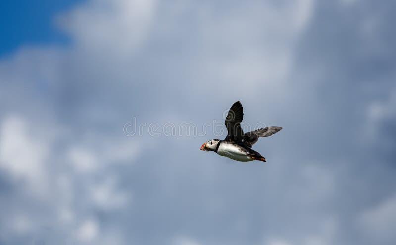 Papageientaucher im Flug lizenzfreie stockfotografie