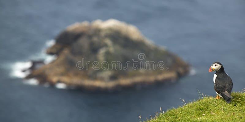 Papageientaucher und Insellandschaft in den Shetlandinseln schottland Großbritannien stockfotografie