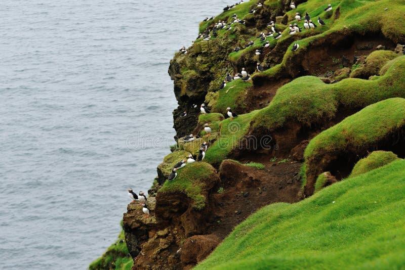 Papageientaucherkolonie auf dem Hügel lizenzfreie stockbilder