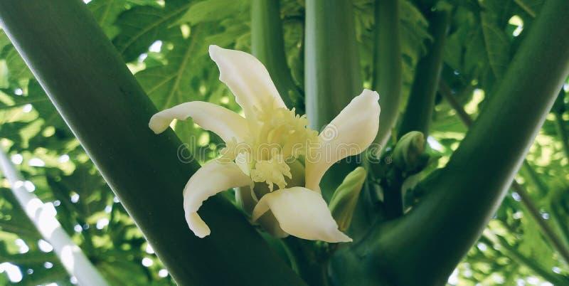 Papaia del ‹del of†del ‹di Flower†immagine stock