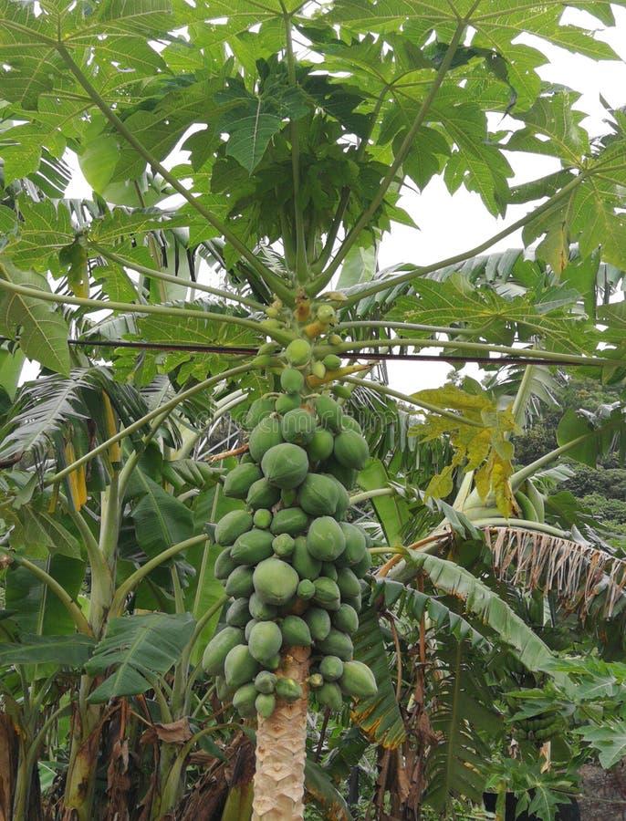 Papaia di Mang negli alberi verdi fotografia stock libera da diritti