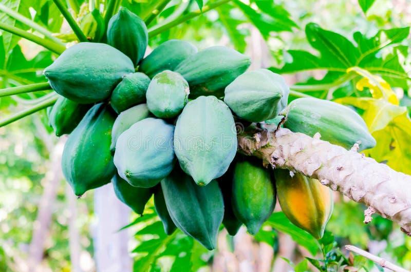 Papaia fresca na árvore com grupo dos frutos e da papaia madura imagens de stock