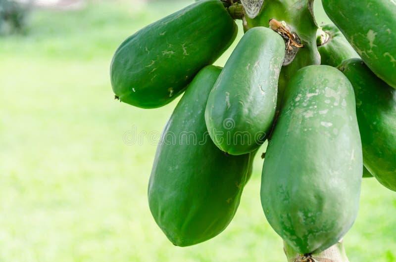 Papaia na exploração agrícola, Tailândia imagem de stock