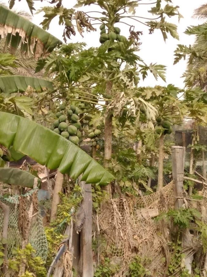 Papaia plantada no deserto imagens de stock