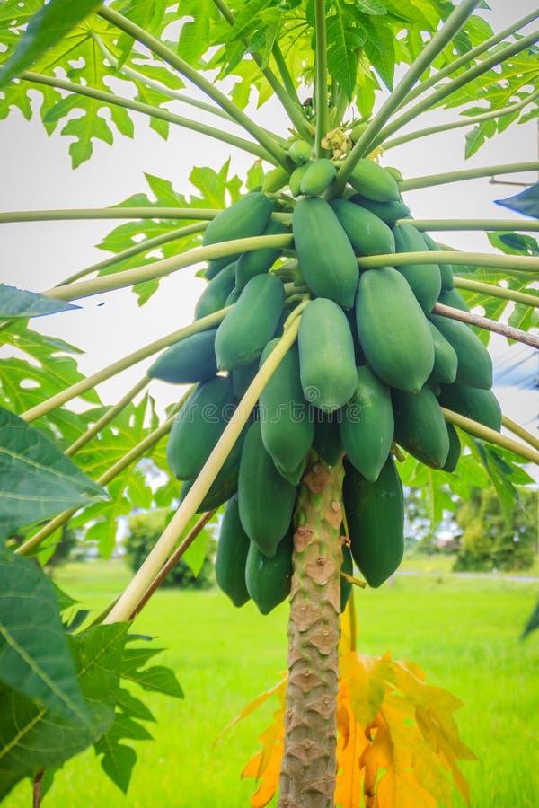 Papaia verde cruda organica abbondantemente sull'albero La giovane papaia verde fruttifica abbondante sulla cima d'albero Raggiro immagine stock libera da diritti