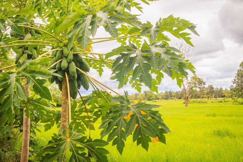 Papaia verde cruda organica abbondantemente sull'albero La giovane papaia verde fruttifica abbondante sulla cima d'albero Raggiro fotografie stock libere da diritti