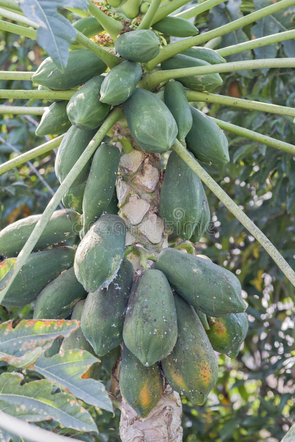 Papaia verde sulla pianta fotografia stock