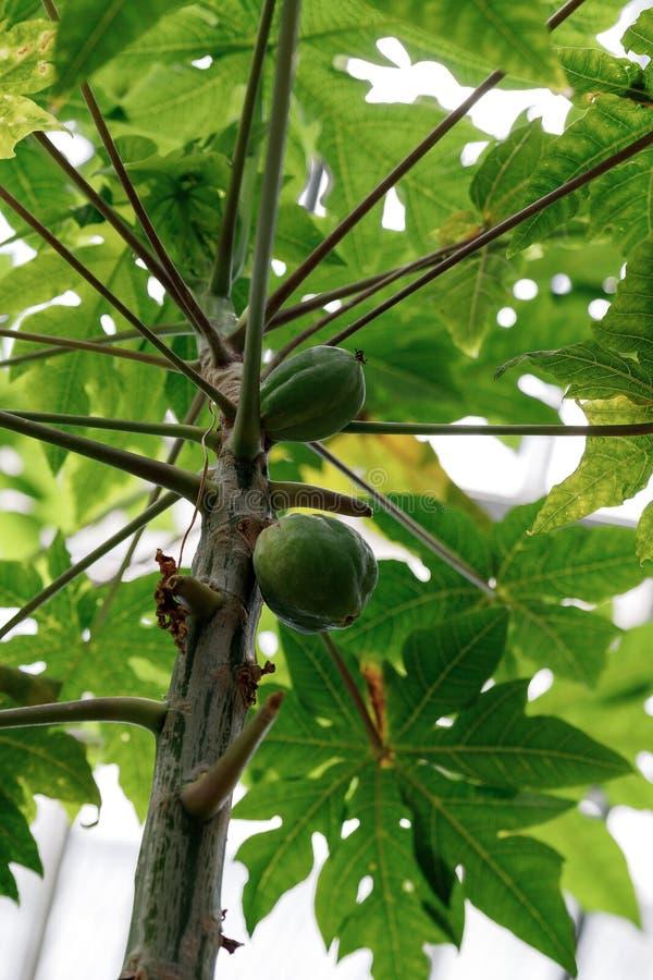 Papaia verdes verdes na árvore fotografia de stock royalty free