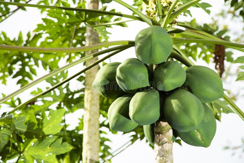 Papaja op de boom - Carica papaja stock foto's