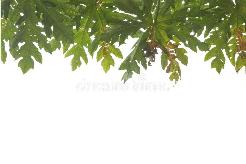Papajabladeren royalty-vrije stock foto's