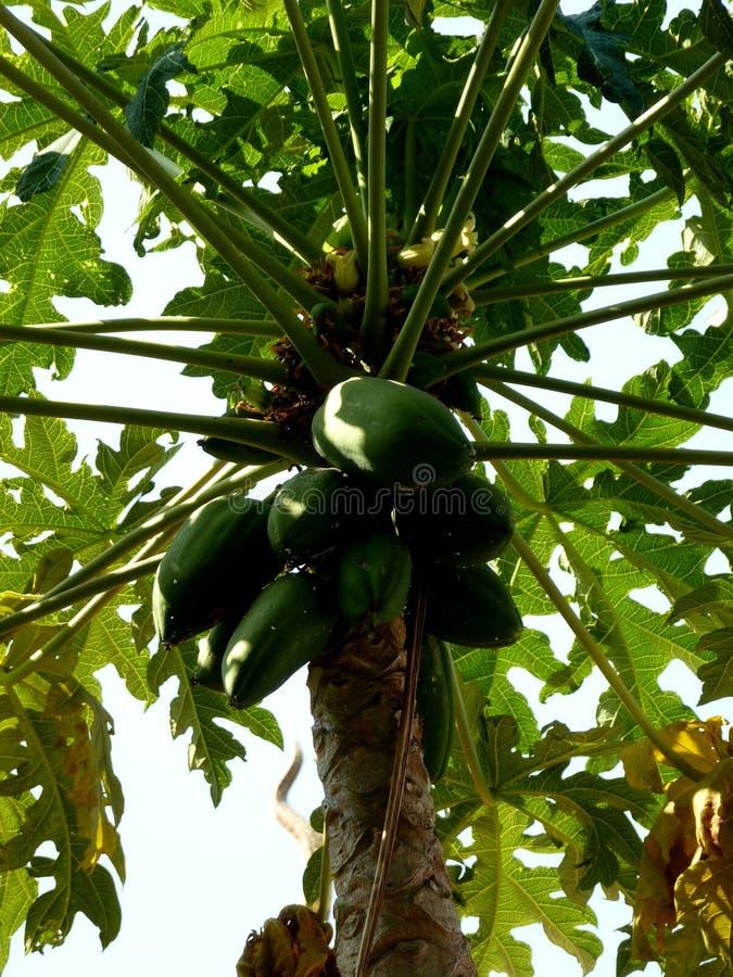 Papajaboom met freh gezonde ruwe vruchten in aard royalty-vrije stock foto's