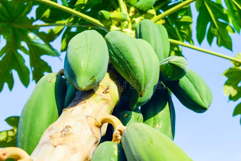 Papajaboom met papajavruchten stock afbeeldingen
