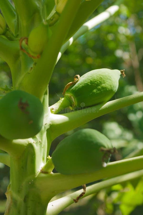 Papajafruit veel stock fotografie