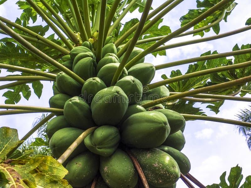 Papaua träd fotografering för bildbyråer
