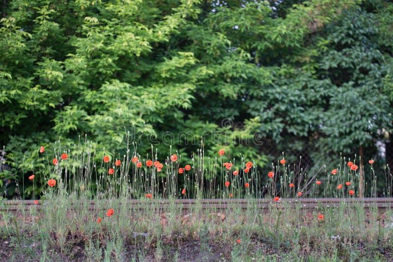 Papaver λουλούδια από το σιδηρόδρομο στοκ εικόνες