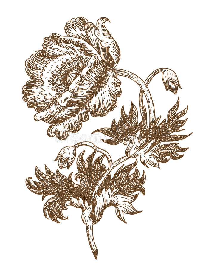 Papaver stock illustratie