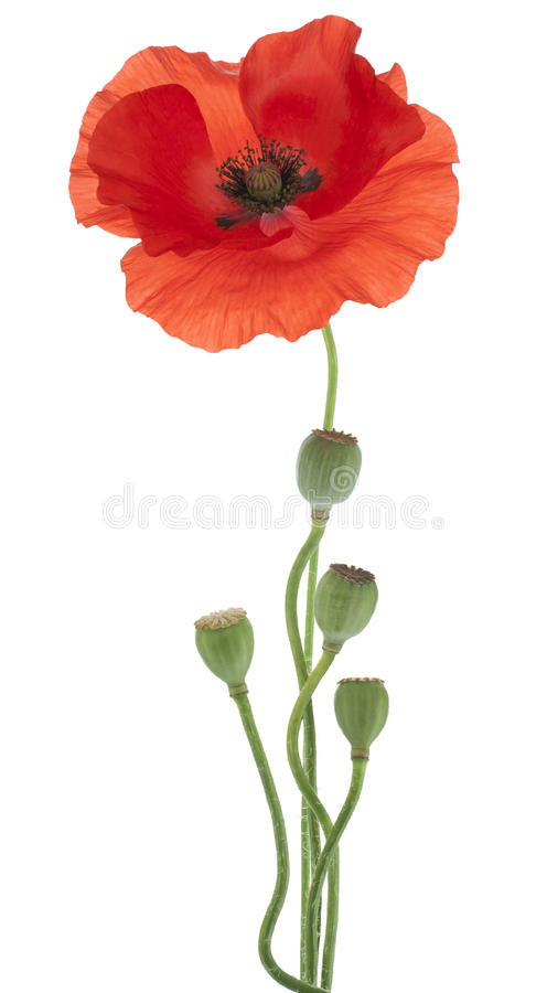 Papaver royalty-vrije stock foto
