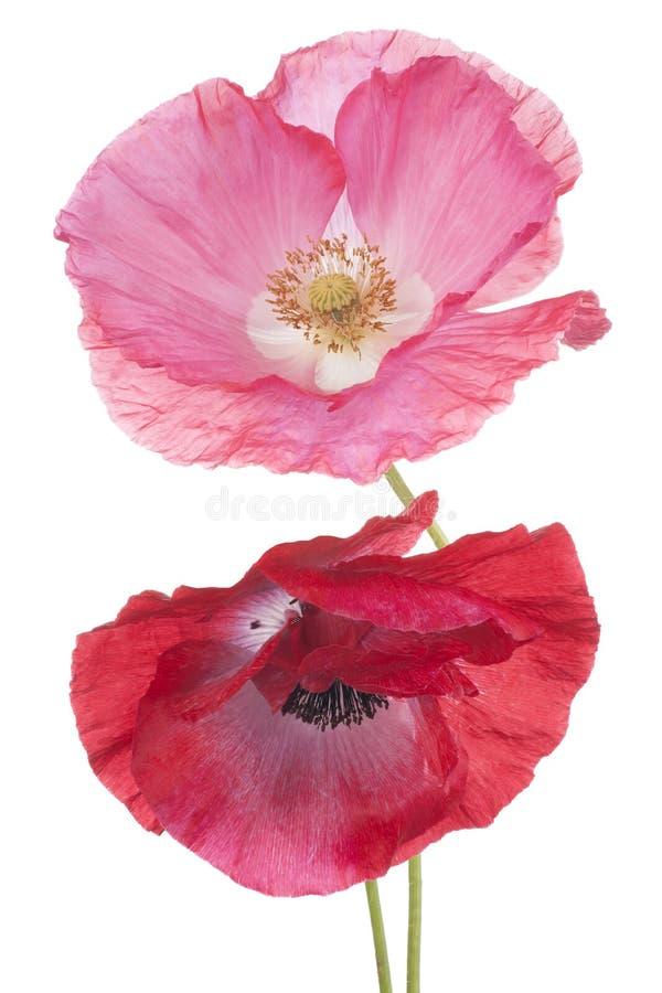 Download Papaver stock foto. Afbeelding bestaande uit blooming - 54086816