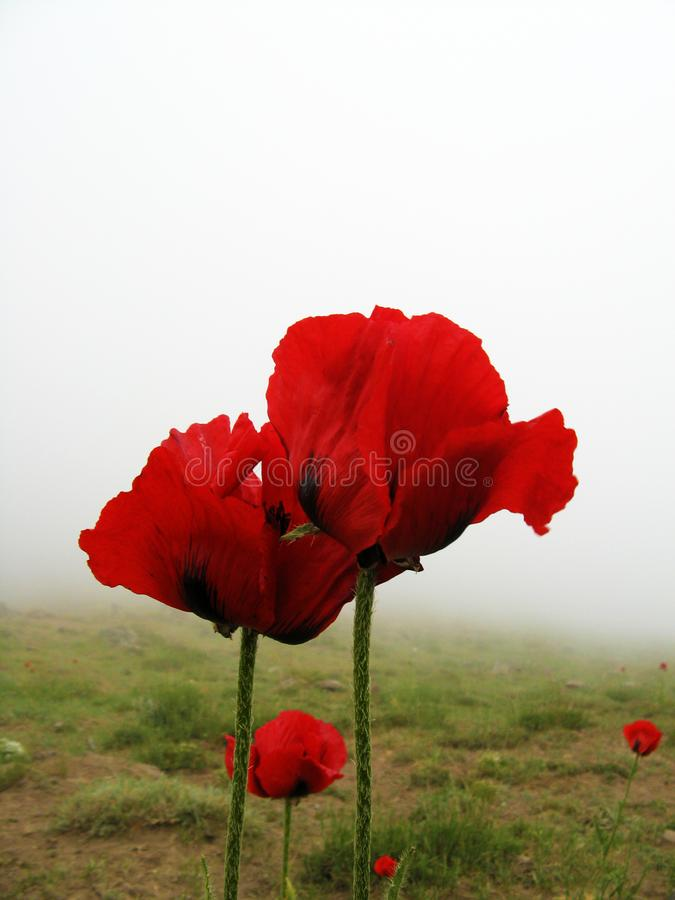 The Persian papaver in Damavand stock photography