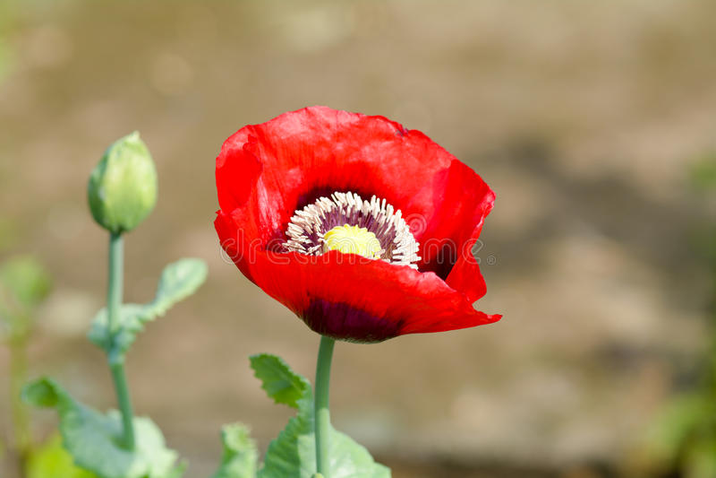 Papaver - de bloem van de somniferumpapaver royalty-vrije stock foto