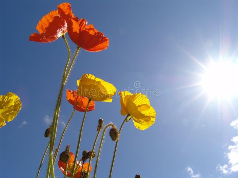 papaver in de zon stock foto's