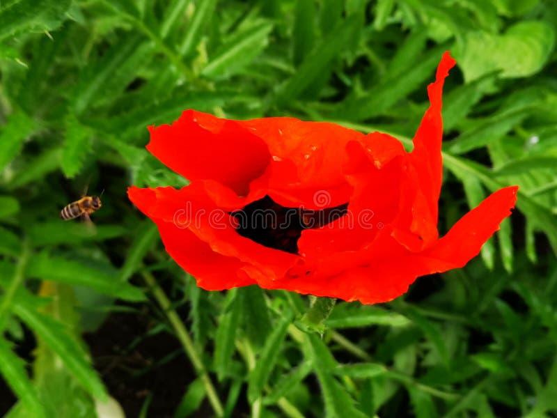 Papaver en bij in de tuin stock foto