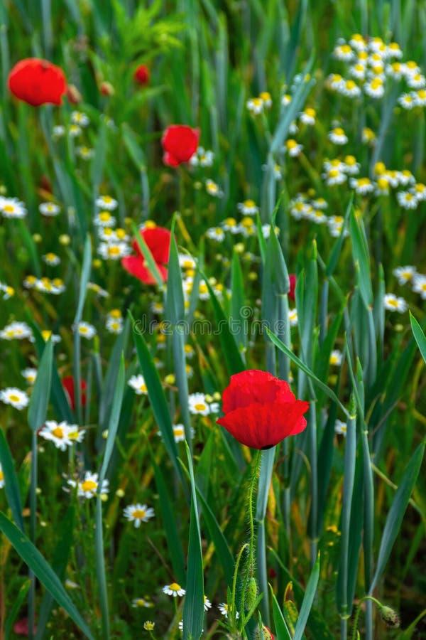 Papaver en madeliefjebloemen op het gebied stock afbeelding