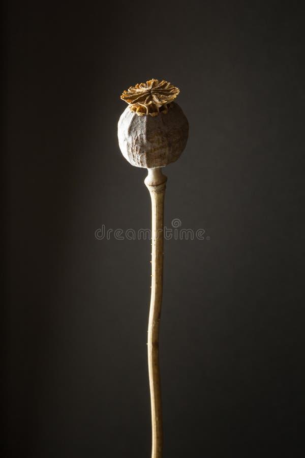 Papaver för opiumvallmo - somniferumen kärnar ur huvudet på brun bakgrund som är vertikal royaltyfria foton