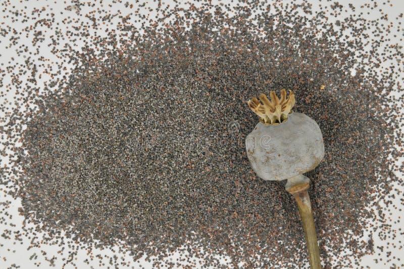 papaver hoofd met zaden stock fotografie