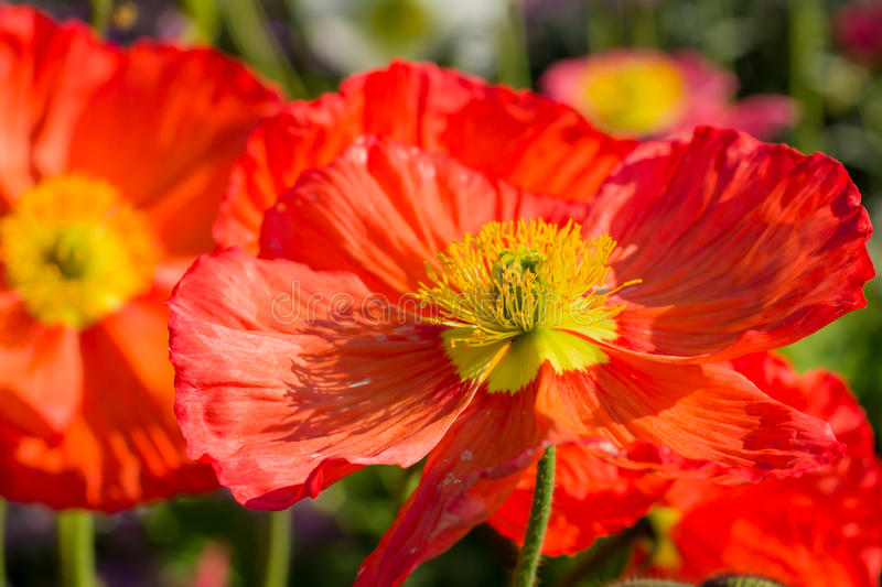 Papaver nudicaule, Iceland poppy stock photos